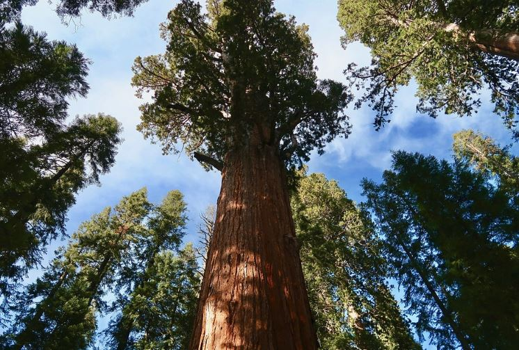 redwood tree facts, redwood facts, facts about the redwood tree