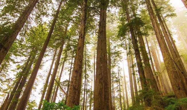 interesting facts about the redwood tree, redwood tree root facts