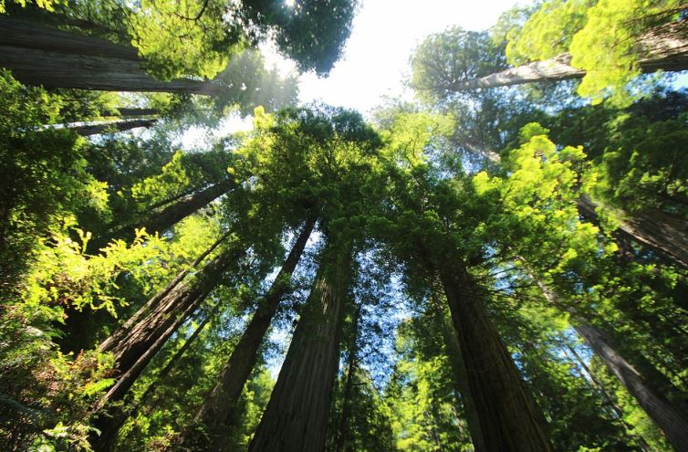facts about the redwood tree, redwood forest facts