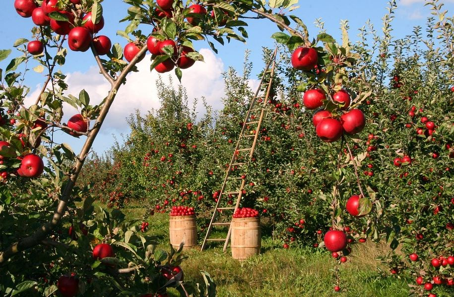 Buy Apples for Home
